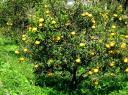 甘夏みかんの樹